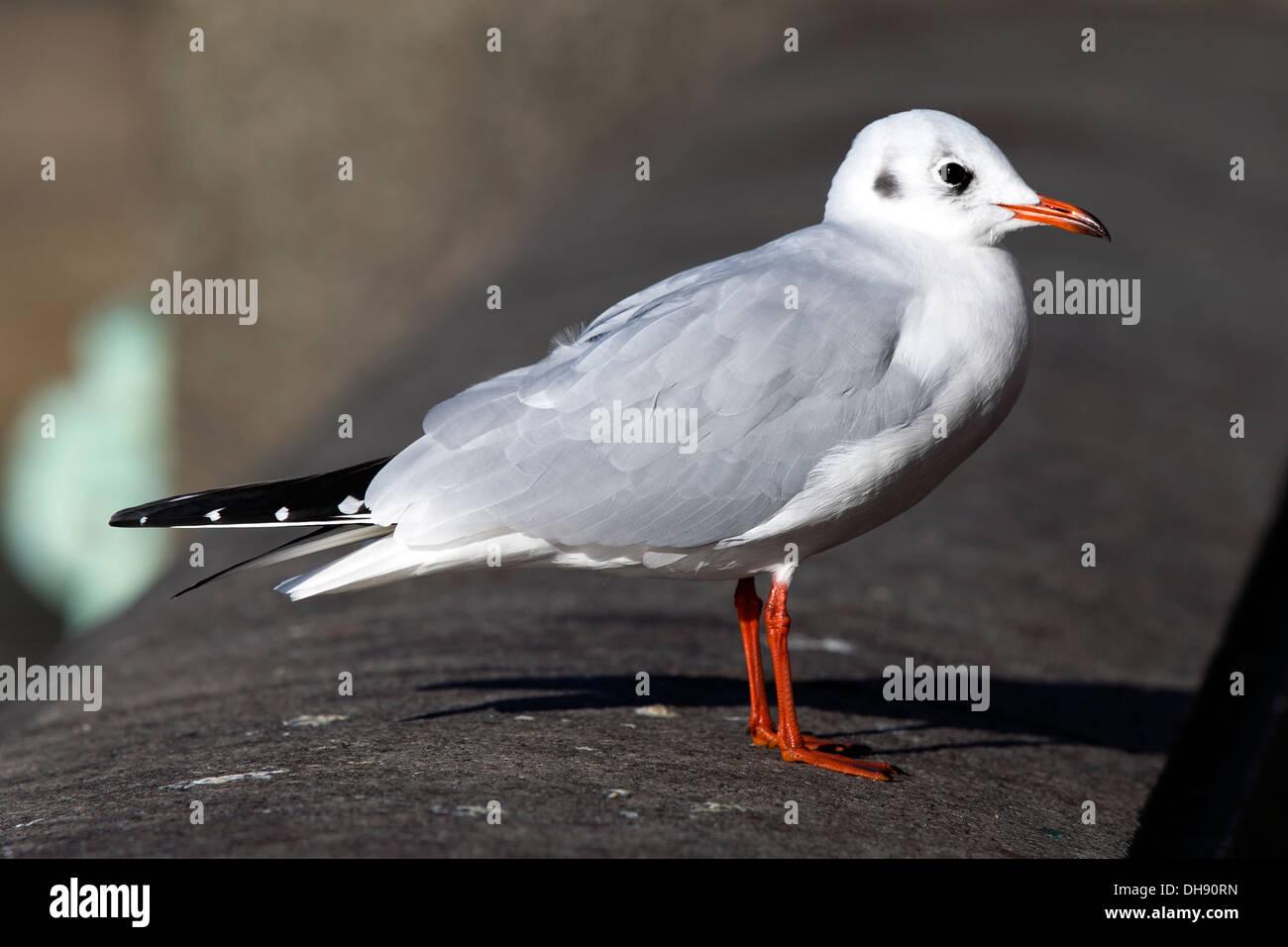 Black-headed gull in winter plumage, River Thames, London, UK. - Stock Image