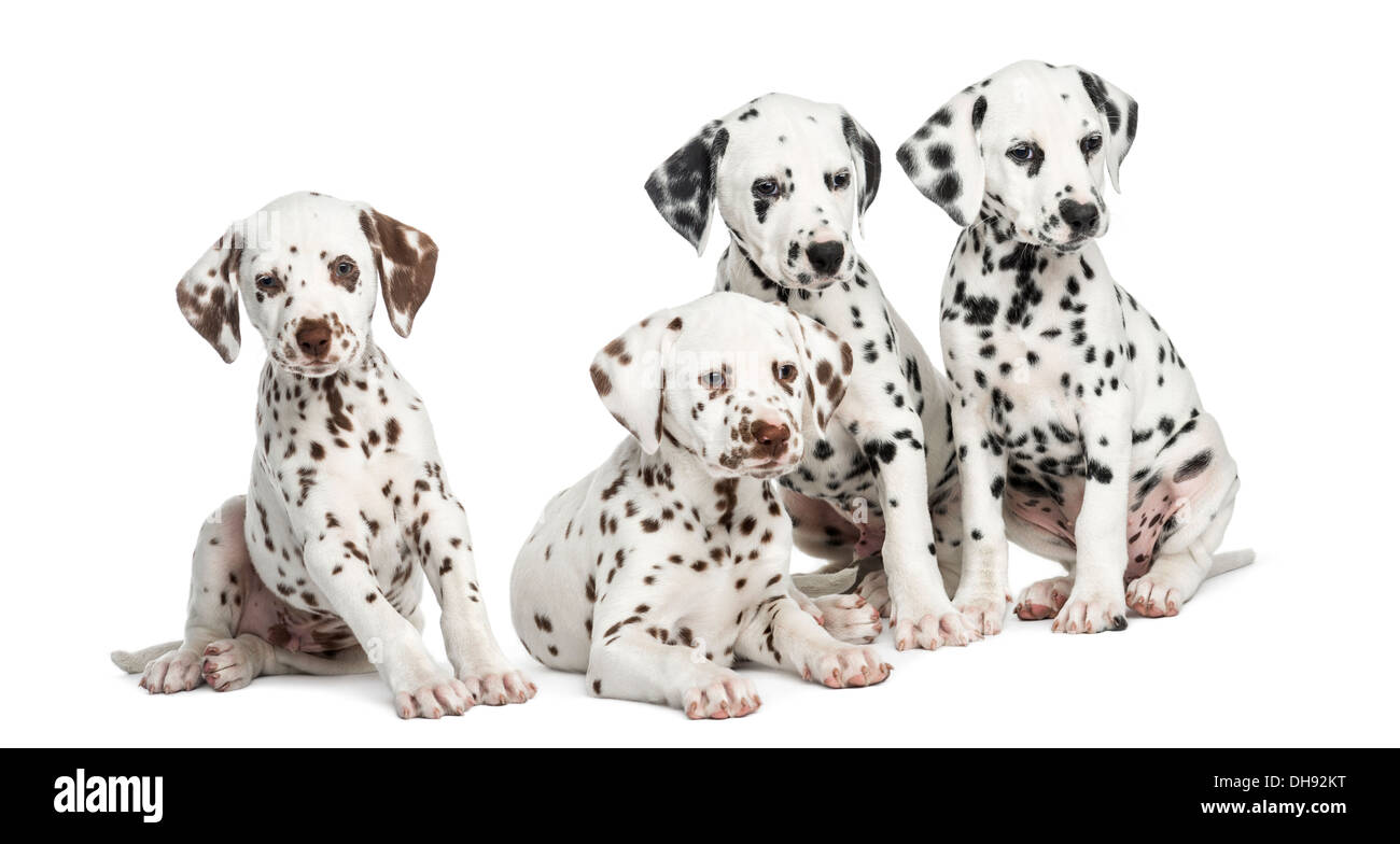 Group of Dalmatian puppies sitting against white background - Stock Image
