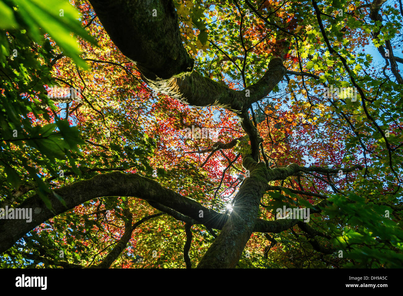 ACER TREE IN AUTUMN COLOUR IN WESTONBIRT ARBORETUM GLOUCESTERSHIRE ENGLAND UK LOOKING UP THROUGH BRANCHES - Stock Image