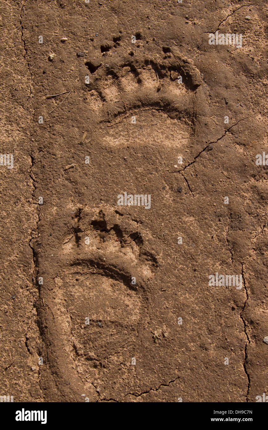 Close up of footprints of Eurasian brown bear (Ursus arctos arctos) showing forepaw and hind leg tracks in the sand - Stock Image