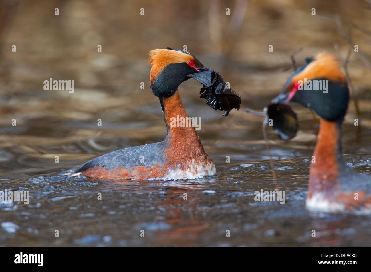 Horned grebe (Podiceps auritus) pair in breeding plumage displaying in lake in spring by bringing vegetation in Stock Photo