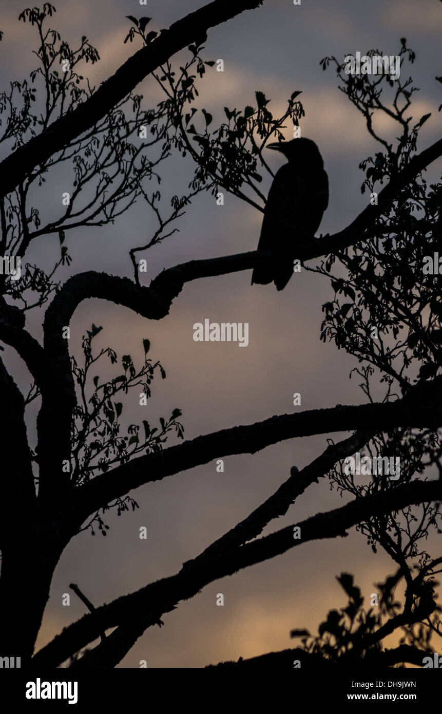 A silhouette of a crow sitting in tree branches with a ...