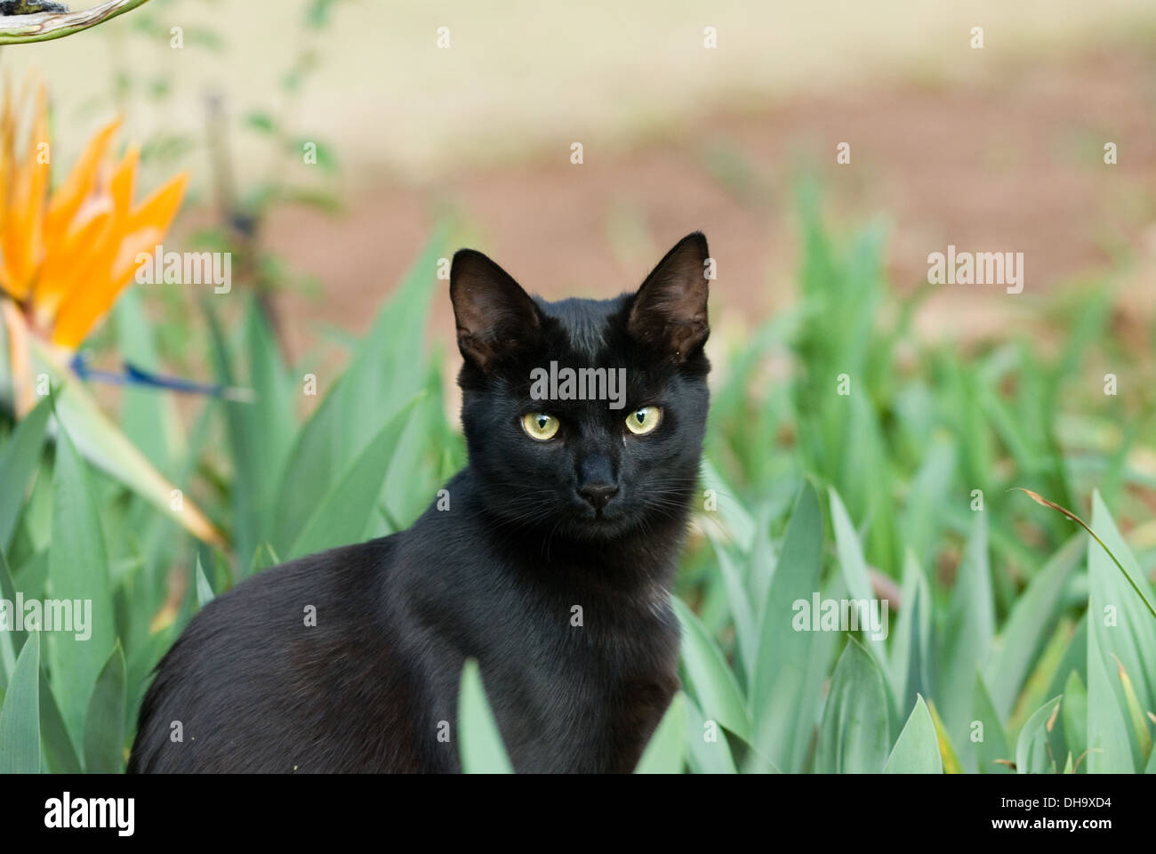 A beautiful 6 month old black cat rescued from a shelter in South Africa the outdoors looking at camera. - Stock Image