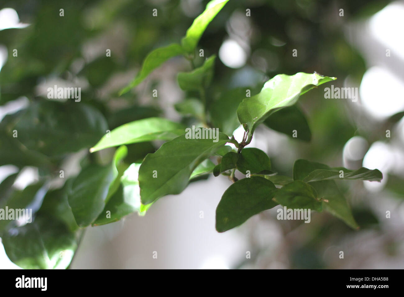 Jasmine is a genus of shrubs and vines in the olive family stock jasmine is a genus of shrubs and vines in the olive family izmirmasajfo