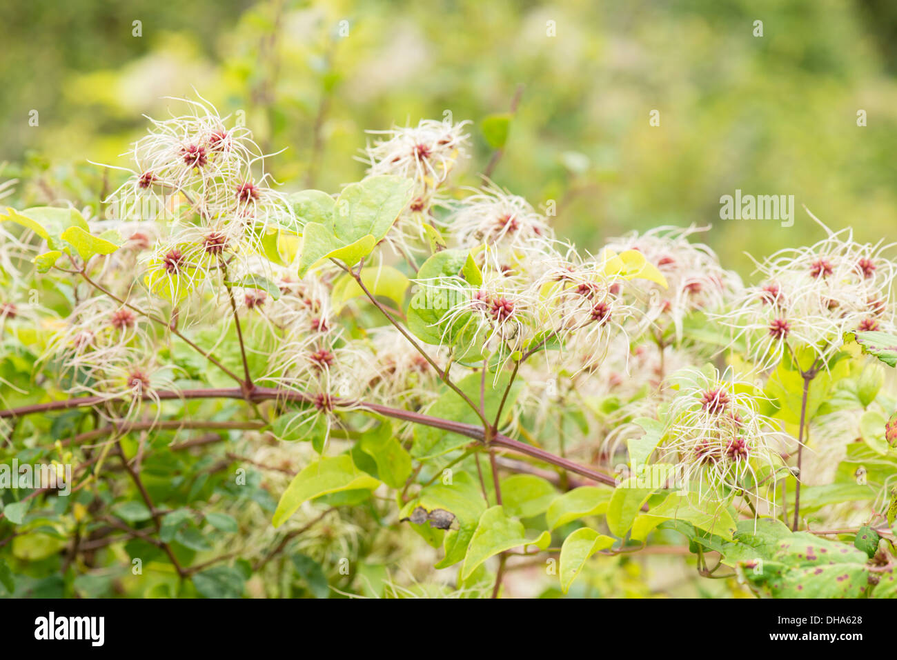 Old Man's Beard in fruit at Durlston Country Park Dorset - Stock Image