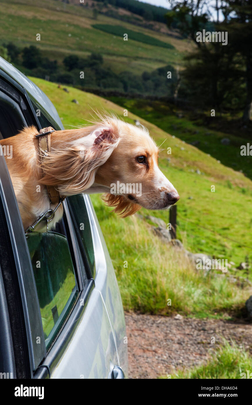 A spaniel with head hanging out of the car window - Stock Image