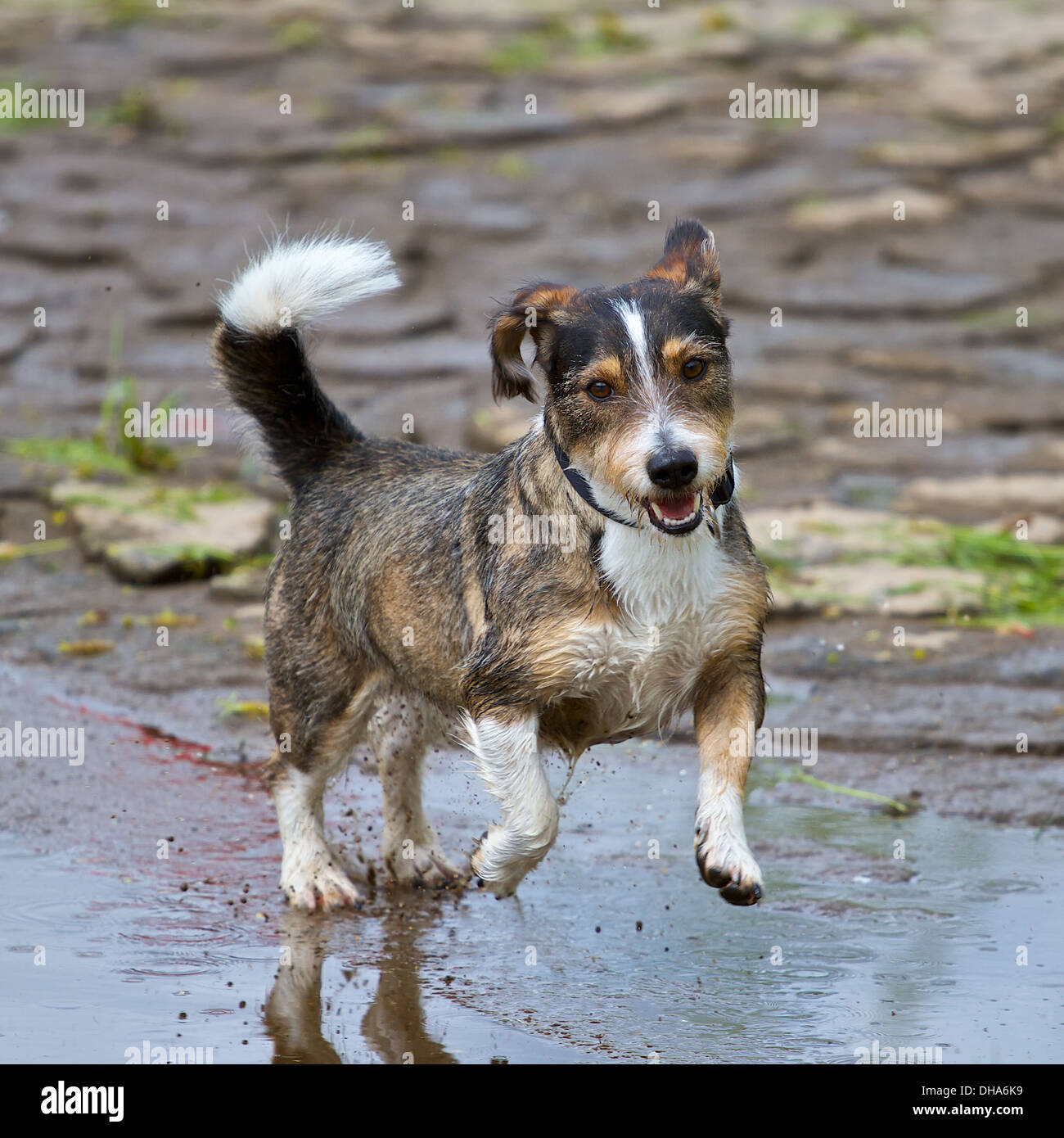 A mixed breed dog jumps very dynamic and enjoyable through a puddle of water - Stock Image