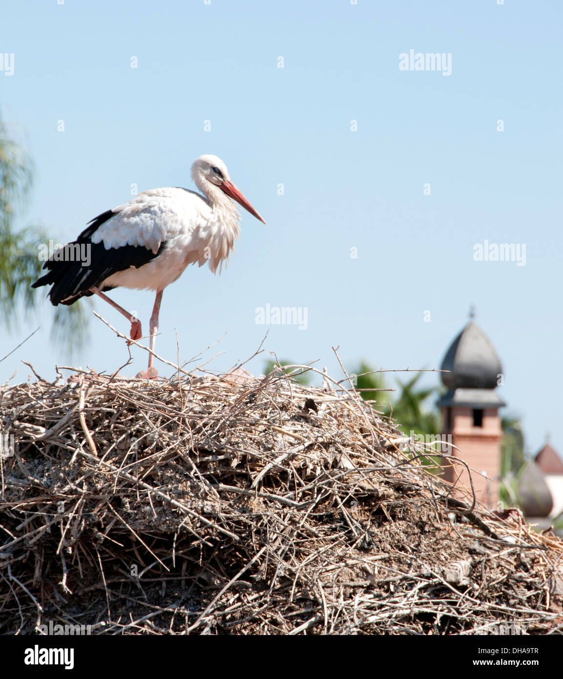 White Stork (Ciconia ciconia) nesting on the old city wall Marrakesh  Morocco - Stock Image