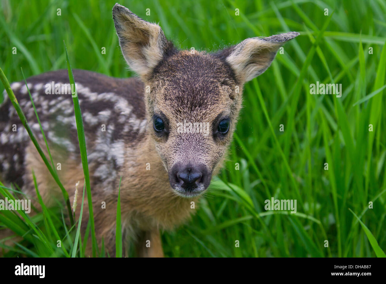 Close up of roe deer (Capreolus capreolus) one day old fawn hidden in tall grass of meadow - Stock Image