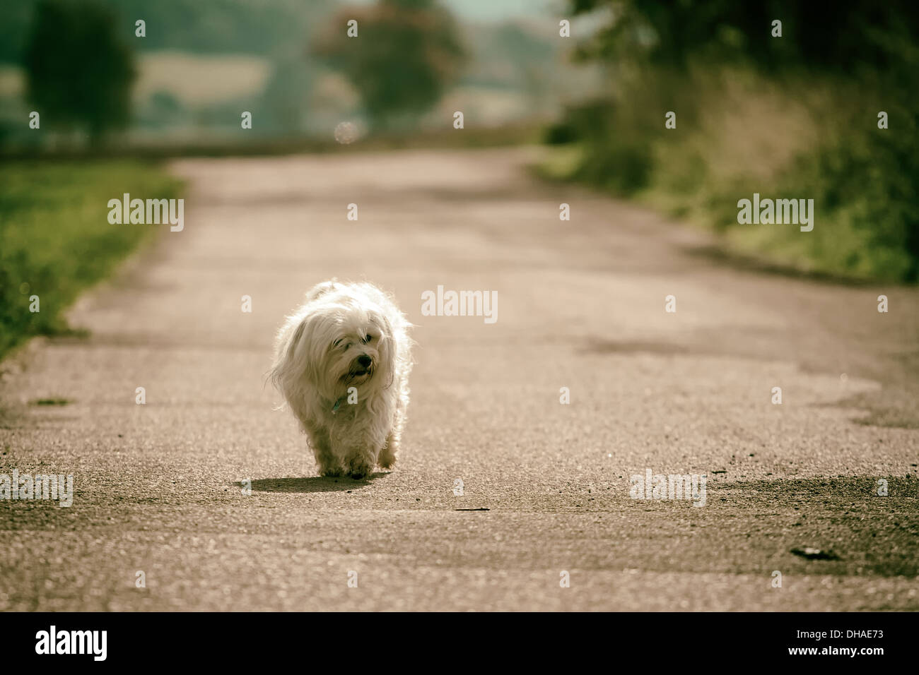 A small dog runs all alone in the sunshine along a road. - Stock Image