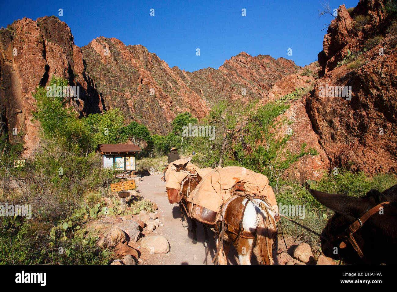 Mules on the South Kaibab Trail at the bottom of Grand Canyon National Park, Arizona. - Stock Image
