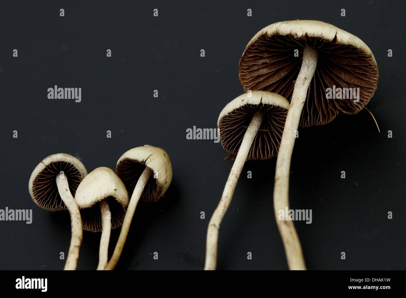 Psilocybe Stock Photos & Psilocybe Stock Images - Page 3 - Alamy