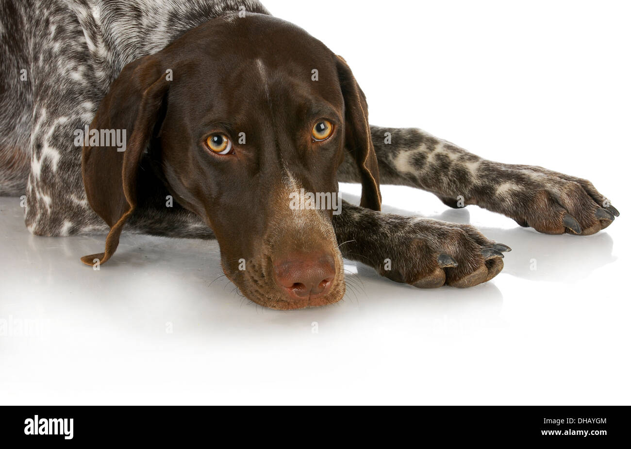 hunting dog - german shorthaired pointer laying down isolated on white background - Stock Image