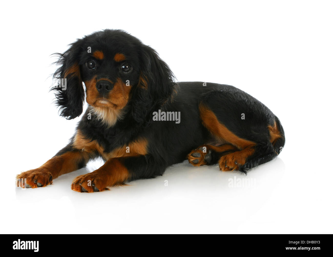 Cute Puppy Cavalier King Charles Spaniel Puppy Laying Down Black Stock Photo Alamy