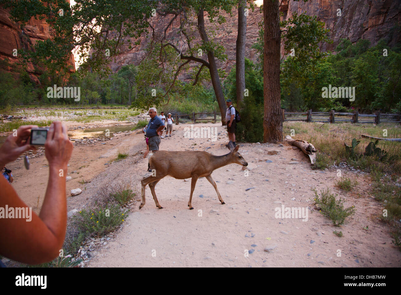 Deer at the Temple of the Sinawava, Zion National Park, Utah. - Stock Image