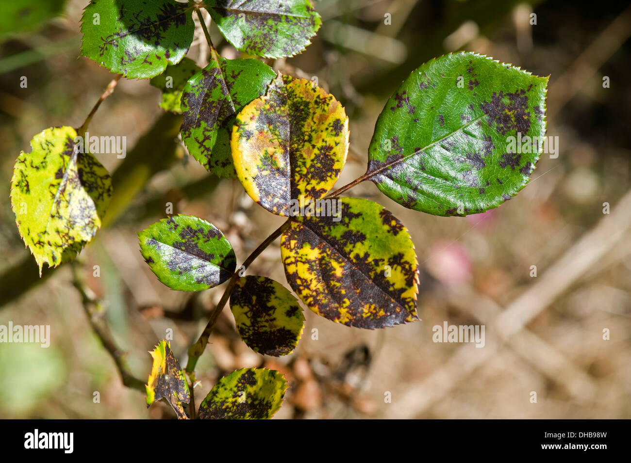 Rose spot, Diplocarpon rosae, a fungal disease on rose leaves in summer - Stock Image
