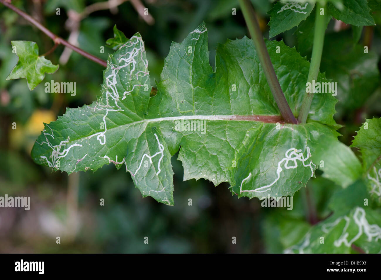 Mines of an agromyzid leaf miner in a smooth sow-thistle Sonchus oleraceus - Stock Image
