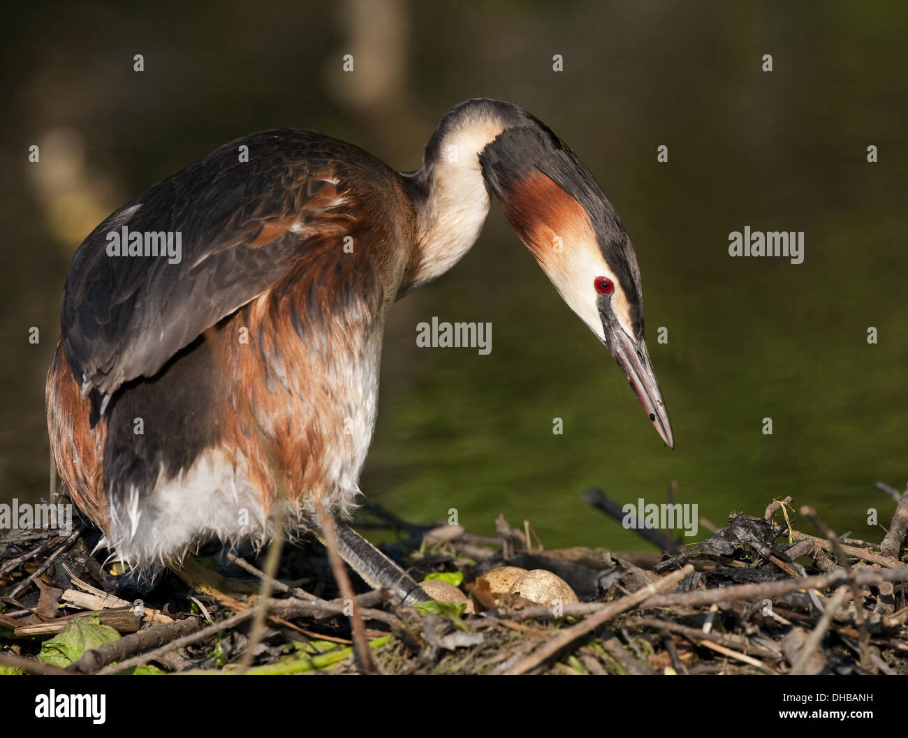 Great Crested Grebe at the nest, Podiceps cristatus, Germany, Europe - Stock Image