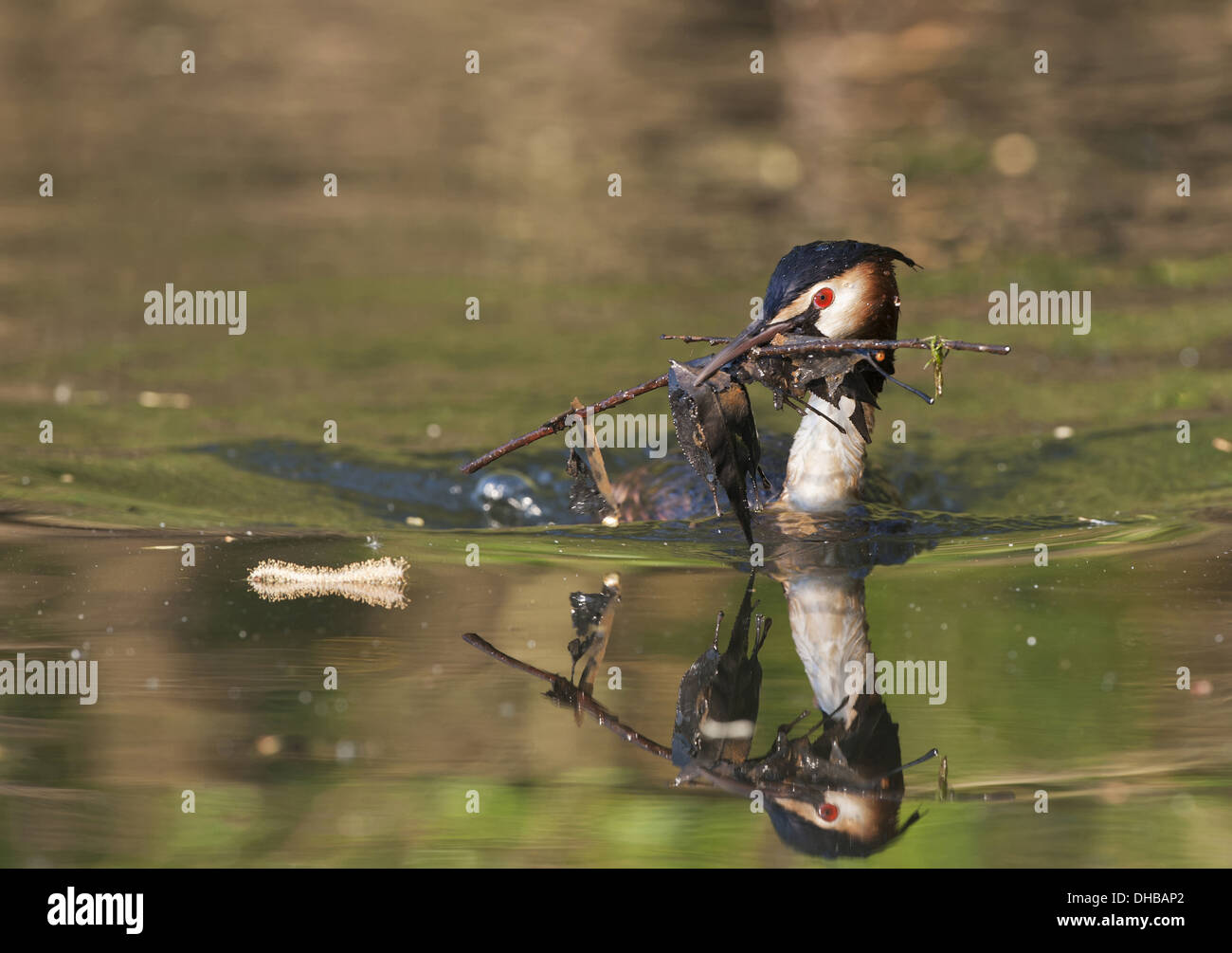 Great Crested Grebe with nesting material, Podiceps cristatus, Germany, Europe - Stock Image
