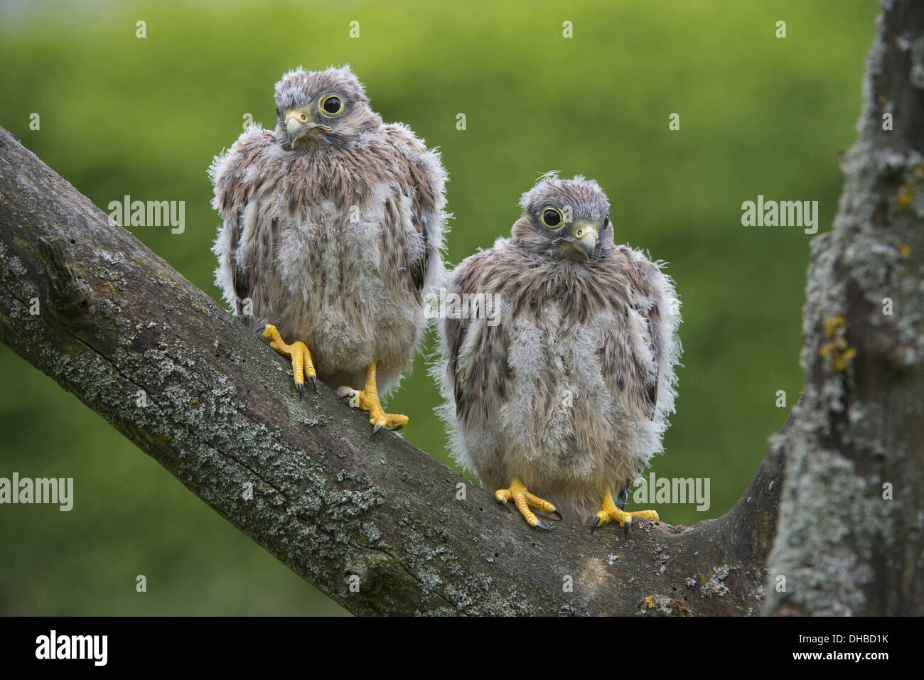two young common kestrels in a tree, falco tinnunculus, germany, europe - Stock Image