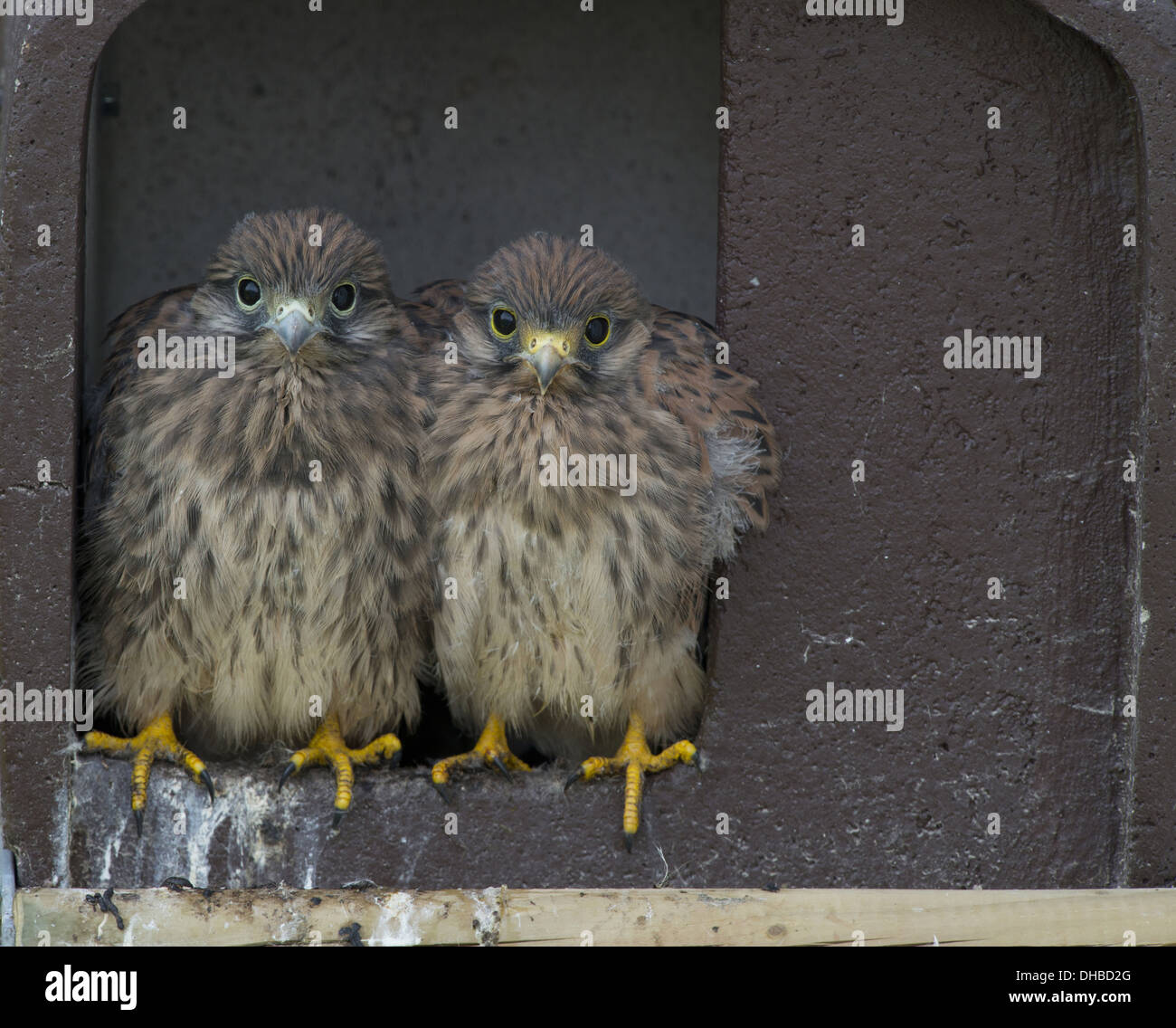 Two young Common Kestrels, Falco tinnunculus, Germany, Europe - Stock Image