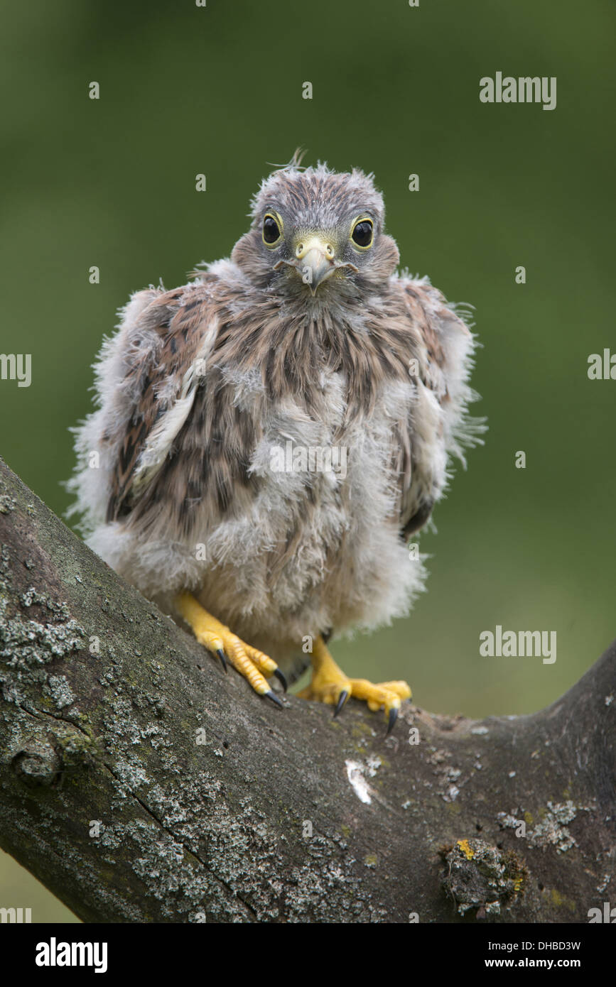 young common kestrels in a tree, falco tinnunculus, germany, europe - Stock Image