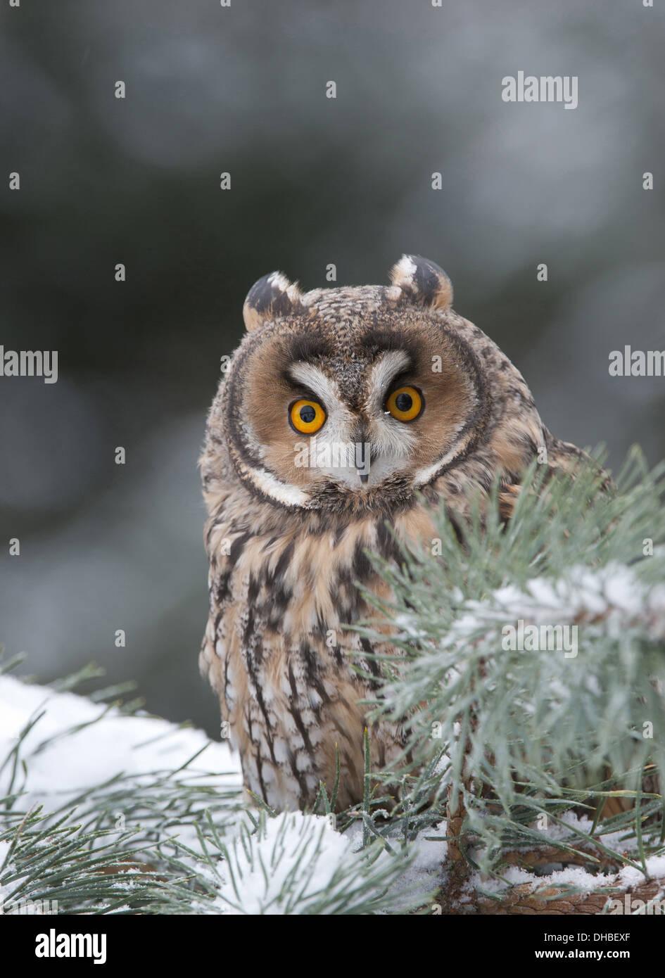 Long-eared Owl in  pine tree, Asio otus, Germany, Europe - Stock Image