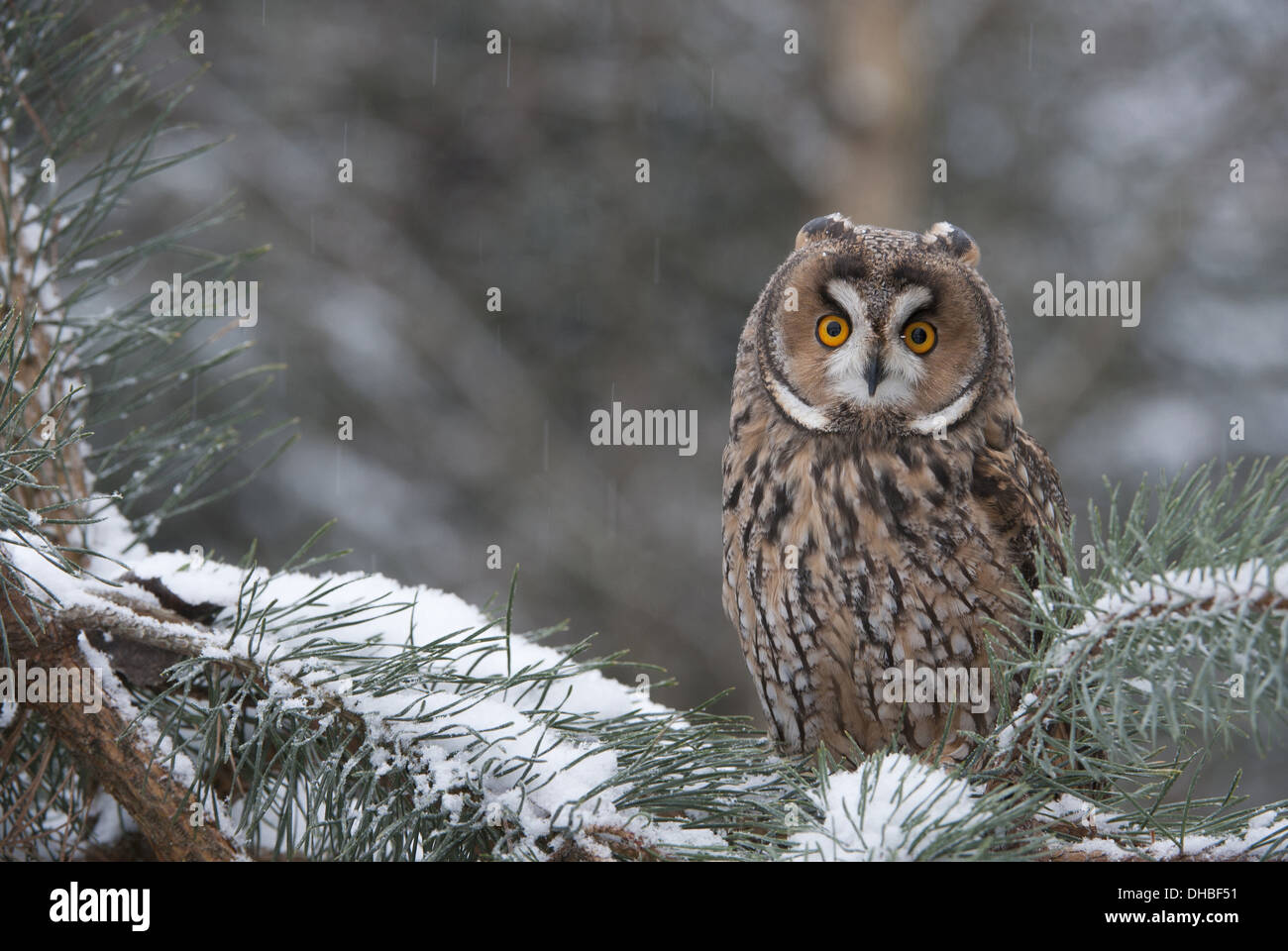 Long-eared Owl in  pine tree, Asio otus, Germany, Europe - Stock Image