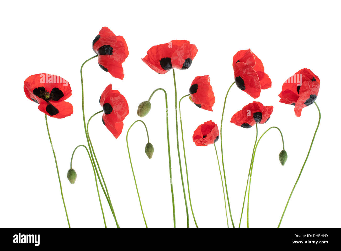 red poppy flowers in a row isolated on white background with shallow depth of field. - Stock Image