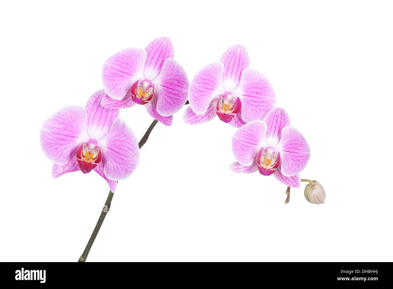 Pink Phalaenopsis Orchid isolated on white background with shallow depth of field. - Stock Image