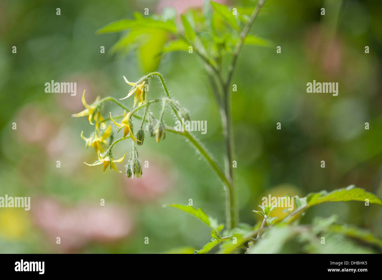 Tomato stalk flowers stock photos tomato stalk flowers stock tomato lycopersicon esculentum yellow plum yellow flowers and green foliage of growing mightylinksfo