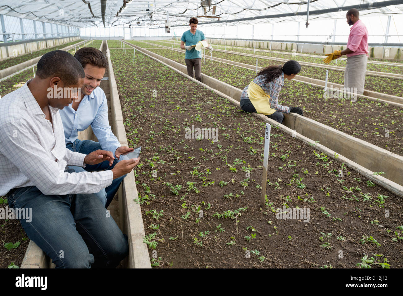 A commercial greenhouse in a plant nursery growing organic flowers. Two men using a digital tablet. - Stock Image
