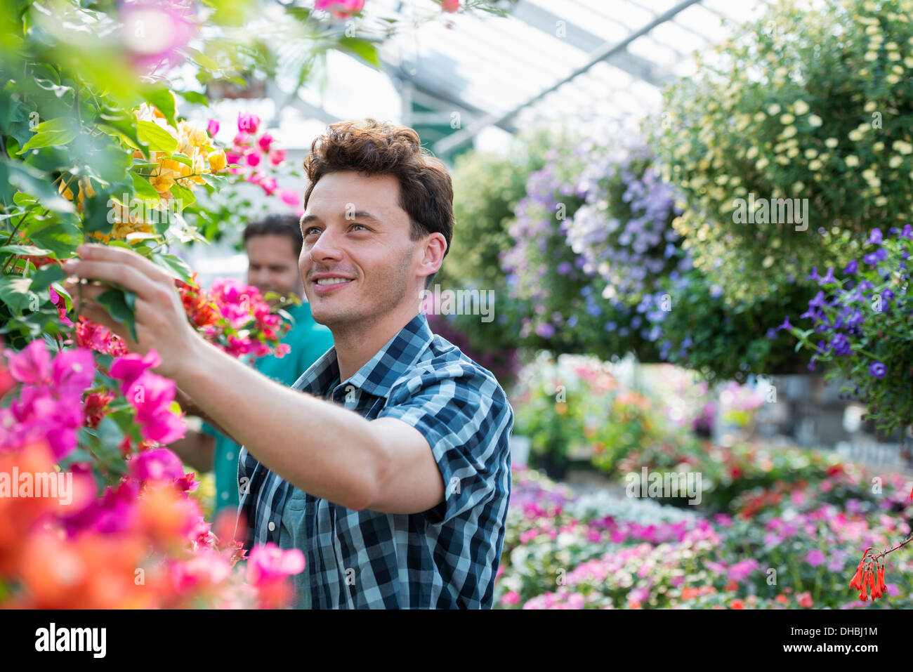 A greenhouse in a plant nursery growing organic flowers. Two men working, deadheading plants and checking hanging baskets. - Stock Image