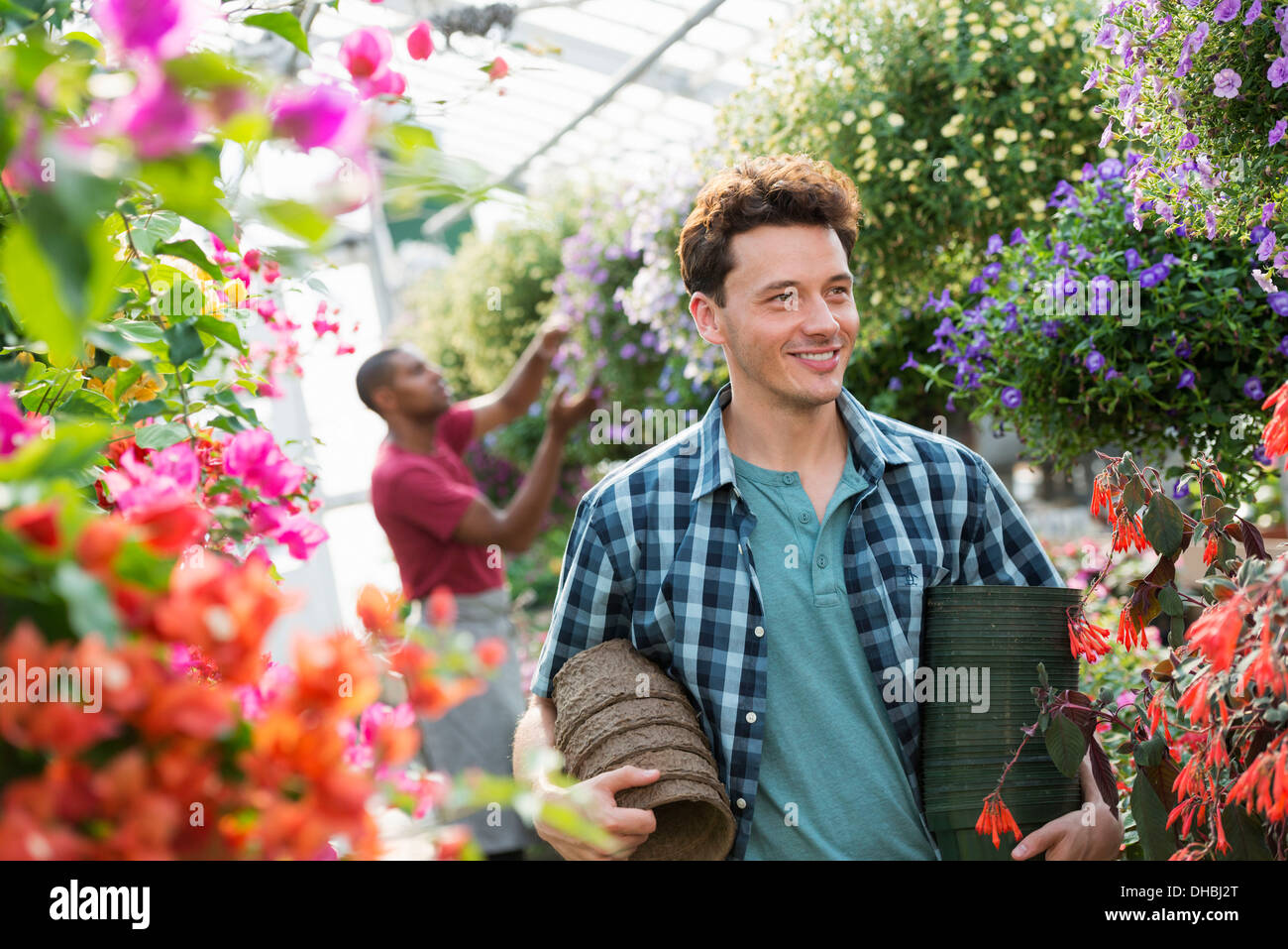A commercial greenhouse in a plant nursery growing organic flowers. A man working, carrying pots. - Stock Image