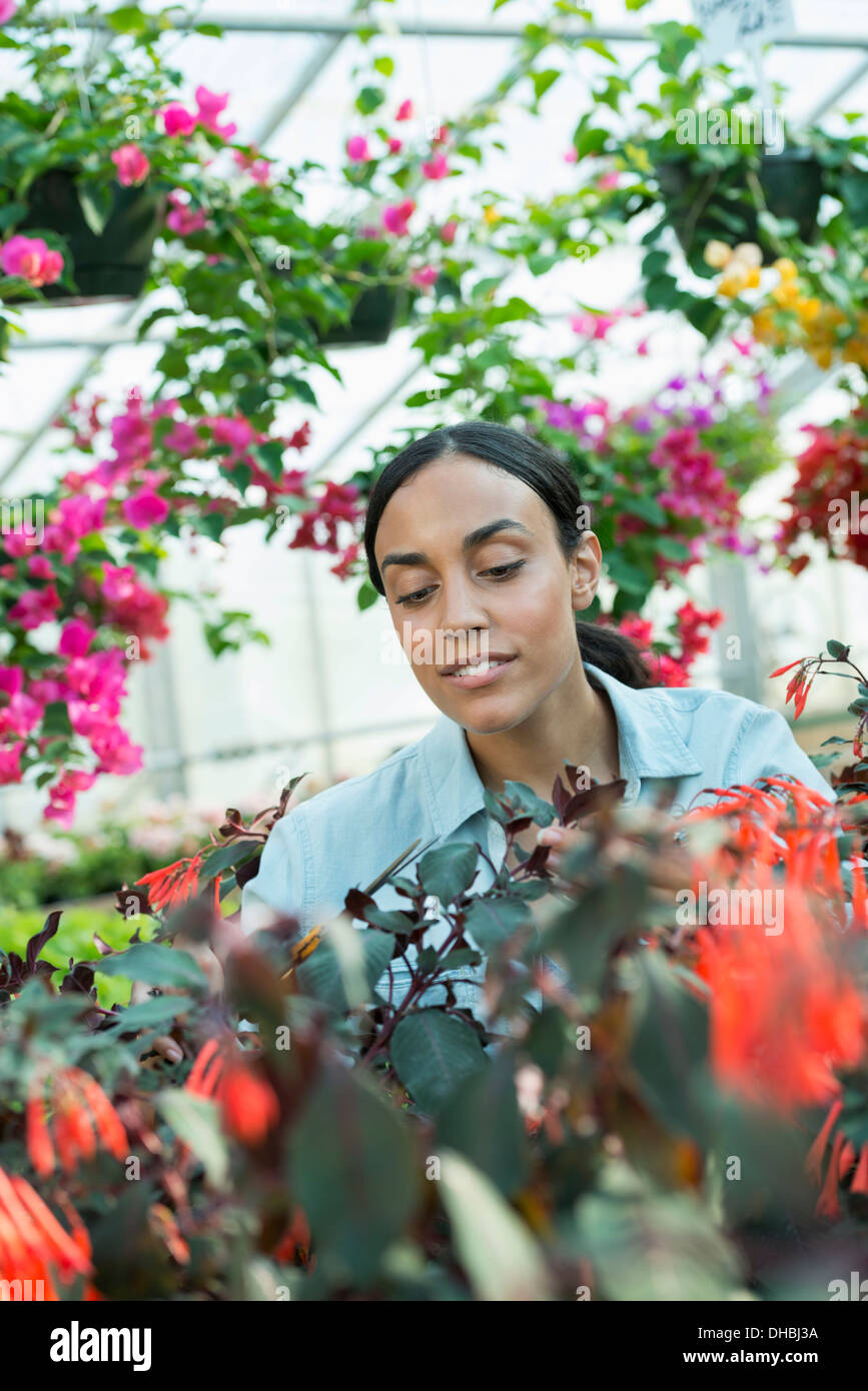 A commercial greenhouse in a plant nursery growing organic flowers. A woman working, checking and tending flowers. - Stock Image