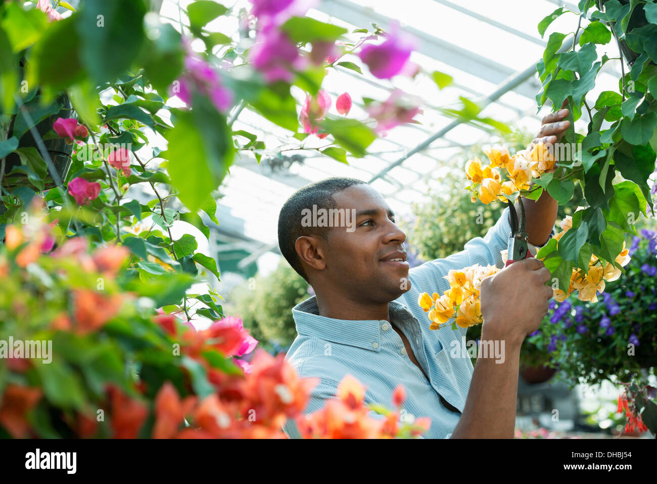 A commercial greenhouse in a plant nursery growing organic flowers. Man working, checking and tending flowers. - Stock Image