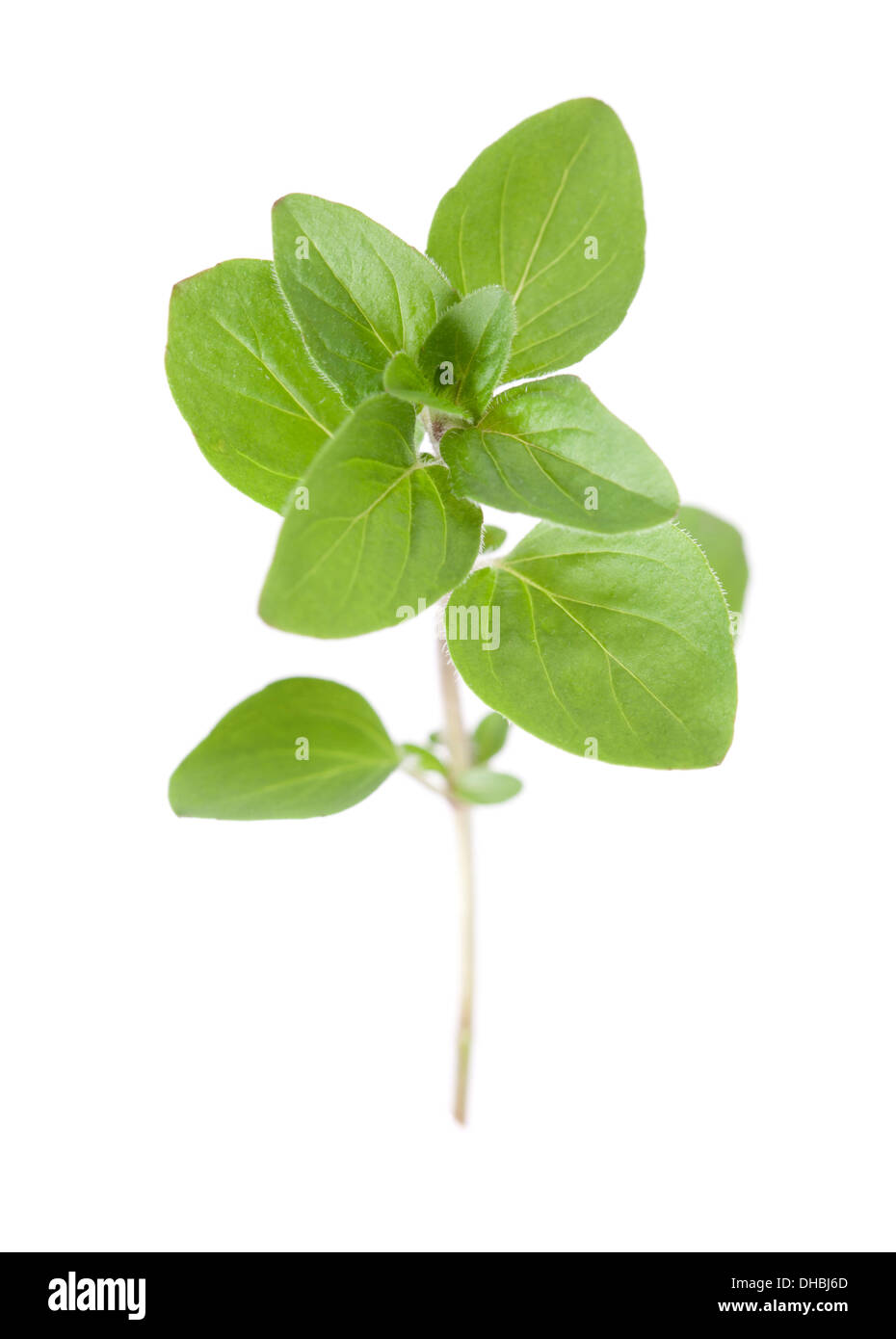 Sprig of Marjoram isolated on white background with shallow depth of field. - Stock Image