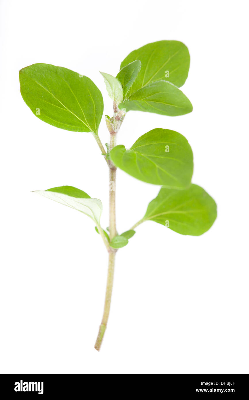 Sprig of Marjoram isolated on white background with shallow depth of field - Stock Image