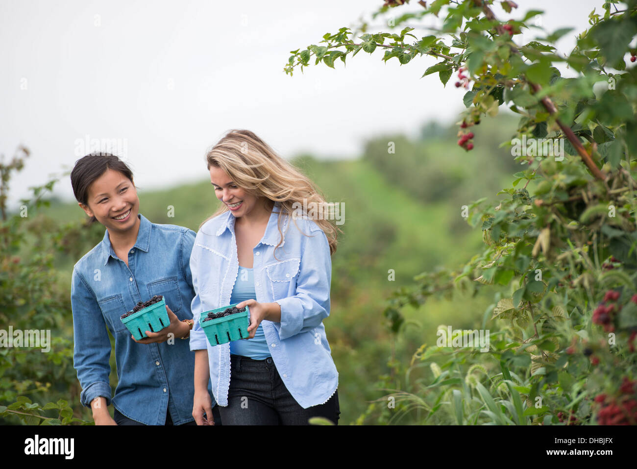 Picking blackberry fruits on an organic farm. Two women talking and walking among the fruit bushes. - Stock Image