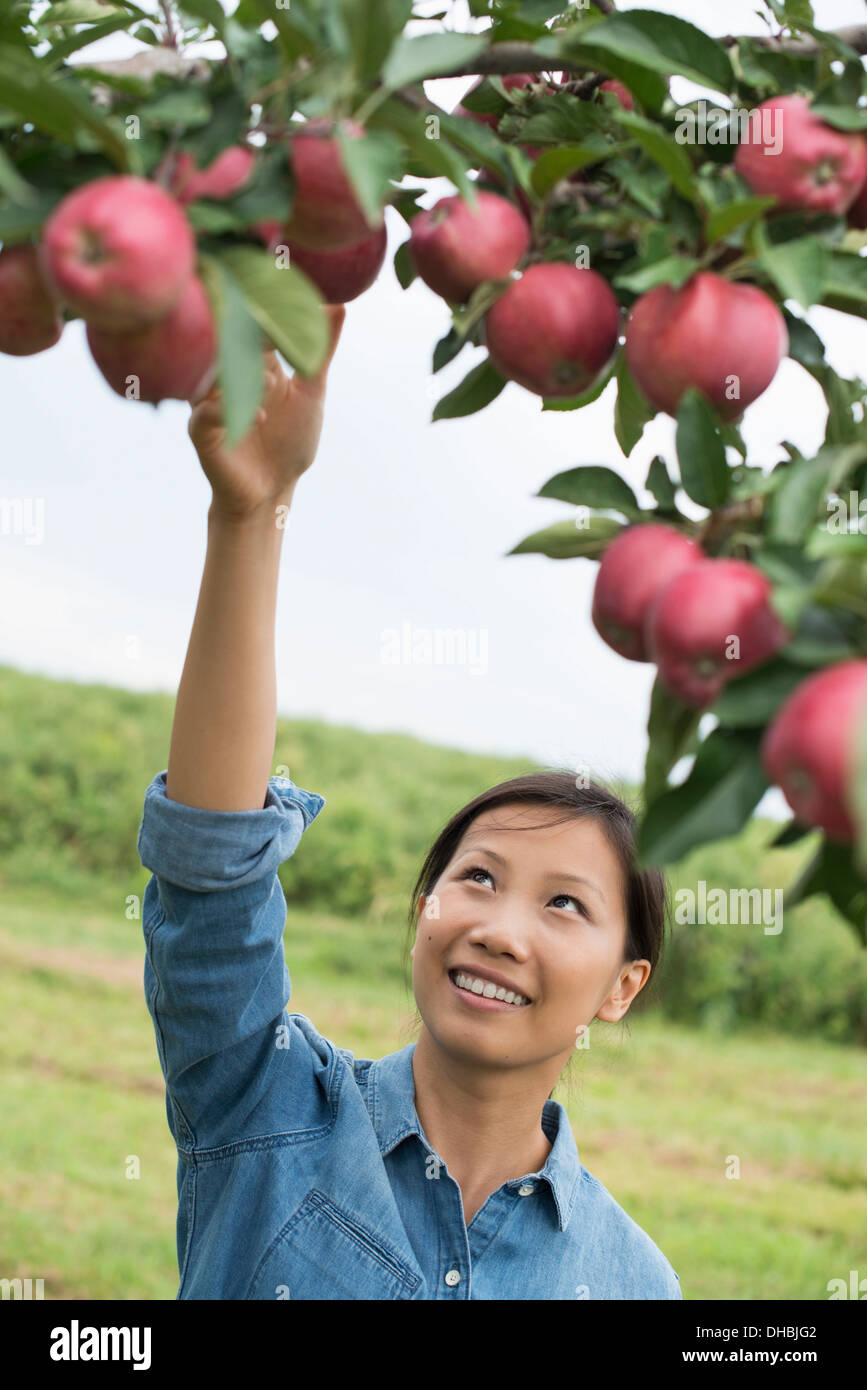 An organic apple tree orchard. A woman picking the ripe red apples. - Stock Image