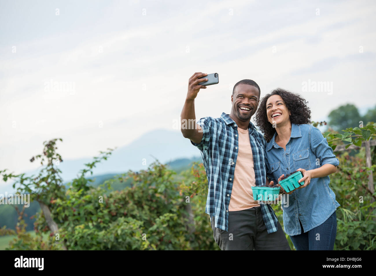 Picking blackberry fruits on an organic farm. A couple taking a selfy with a smart phone, and fruit picking. - Stock Image
