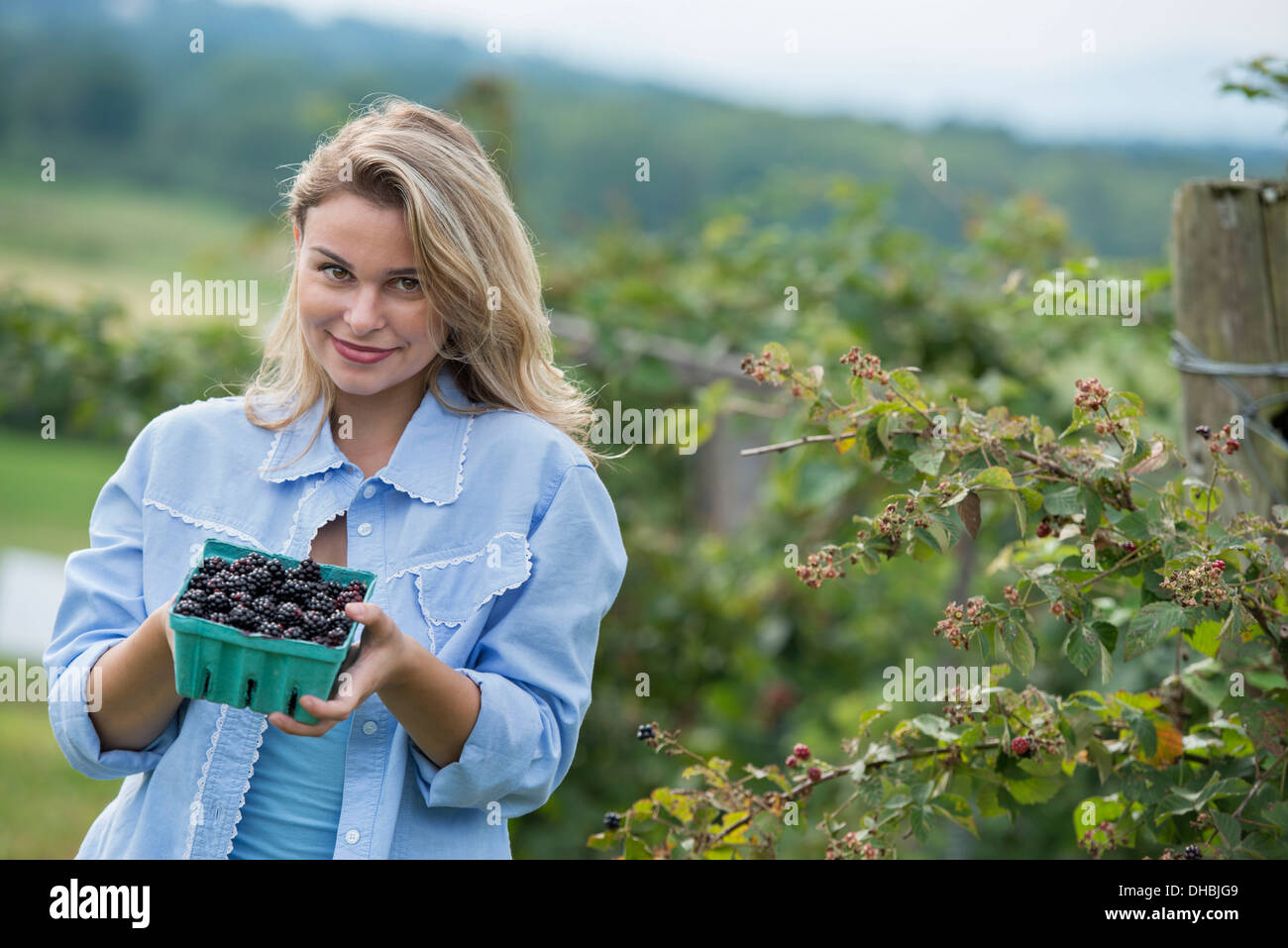 Picking blackberry fruits on an organic farm. A woman holding out a full punnet of glossy berries. - Stock Image