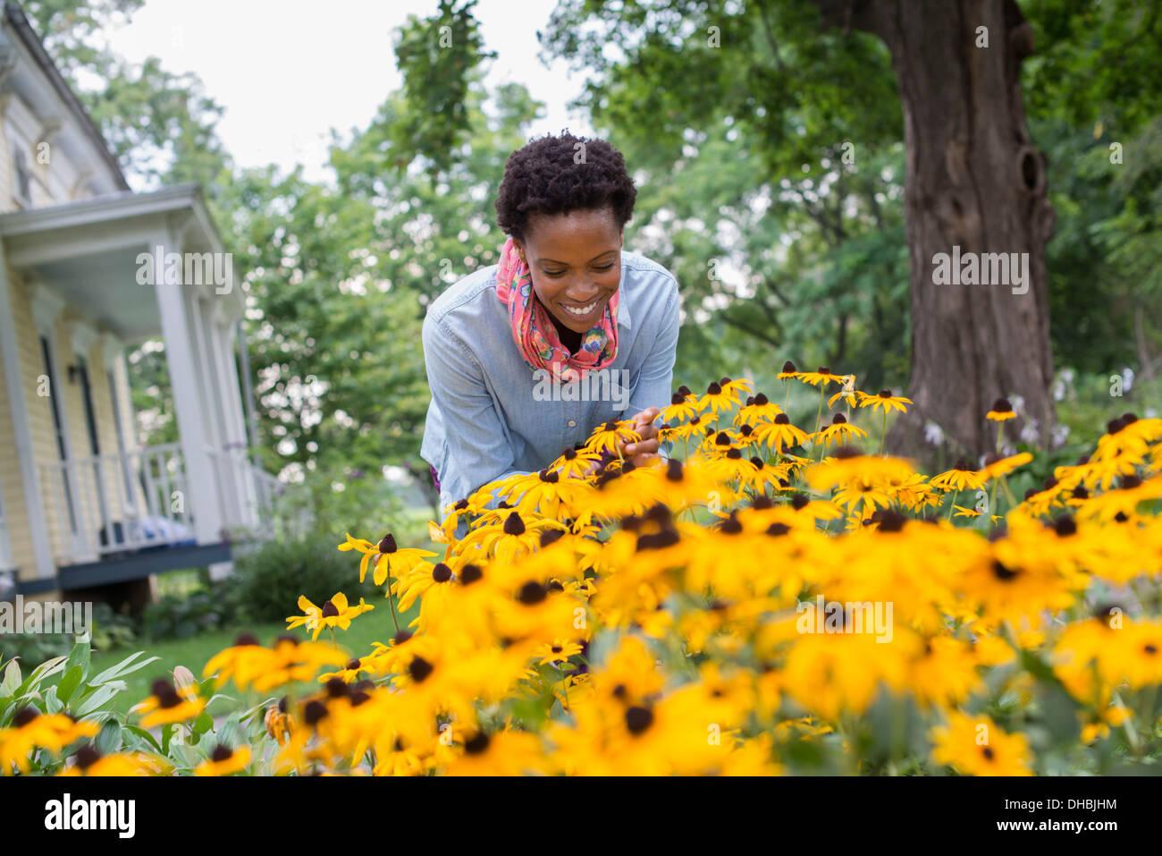 An organic flower garden. A woman bending to cut tall yellow rudbekia flowers. Stock Photo