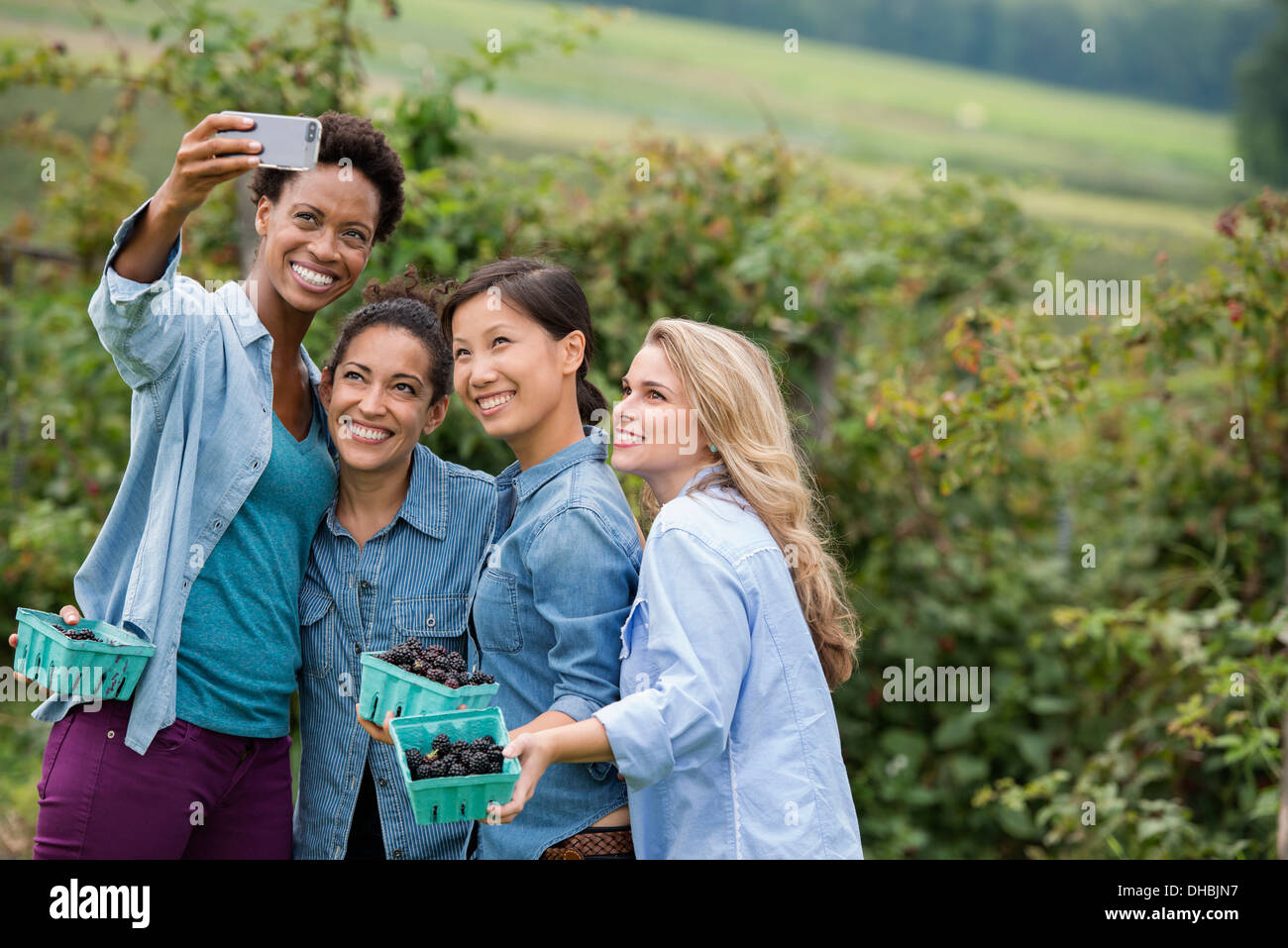 Picking blackberry fruits on an organic farm. Four women posing for a selfy photograph, taken using a smart phone. - Stock Image