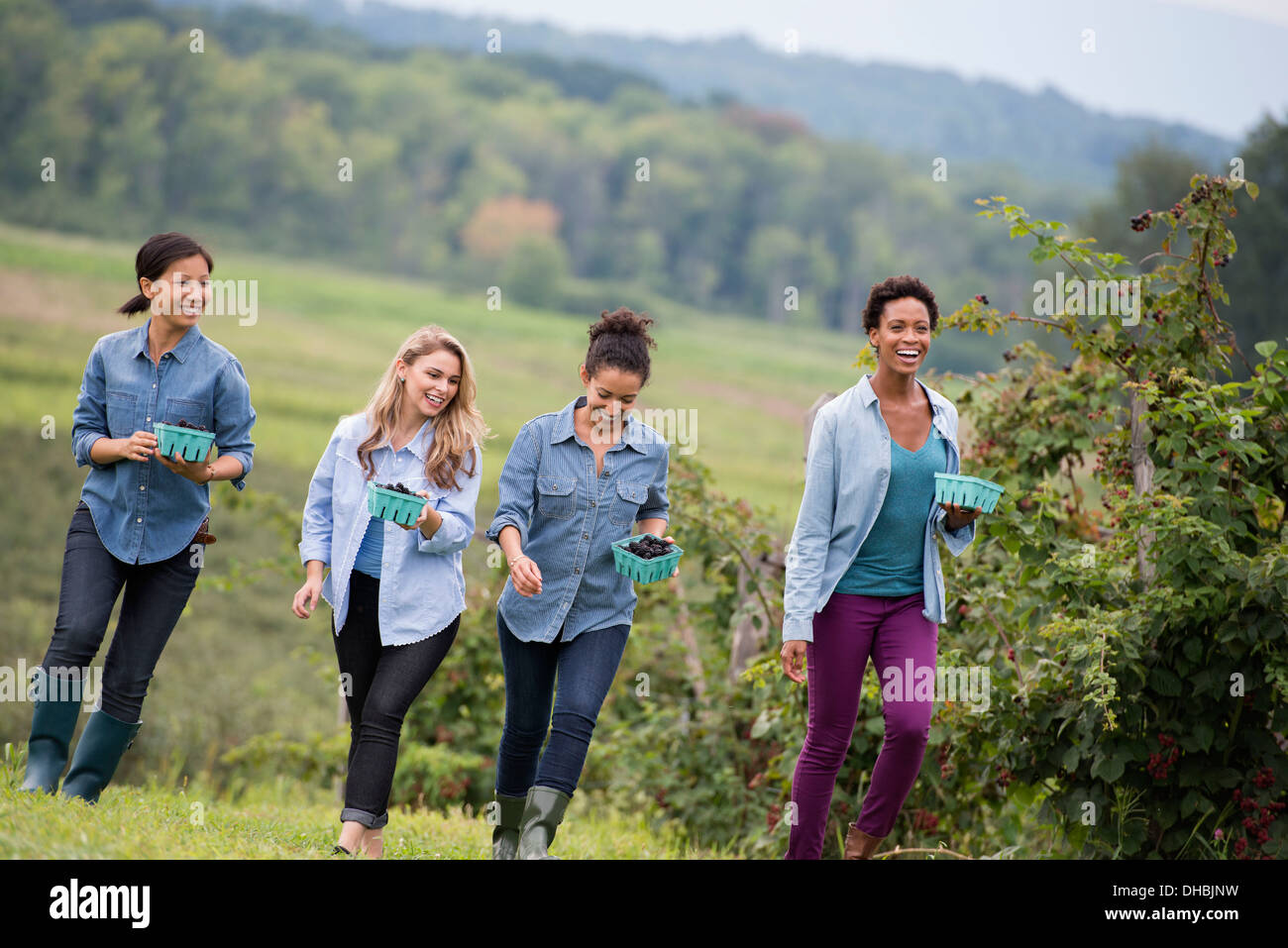 Picking blackberry fruits on an organic farm. Four women walking among the rows of fruit canes. - Stock Image