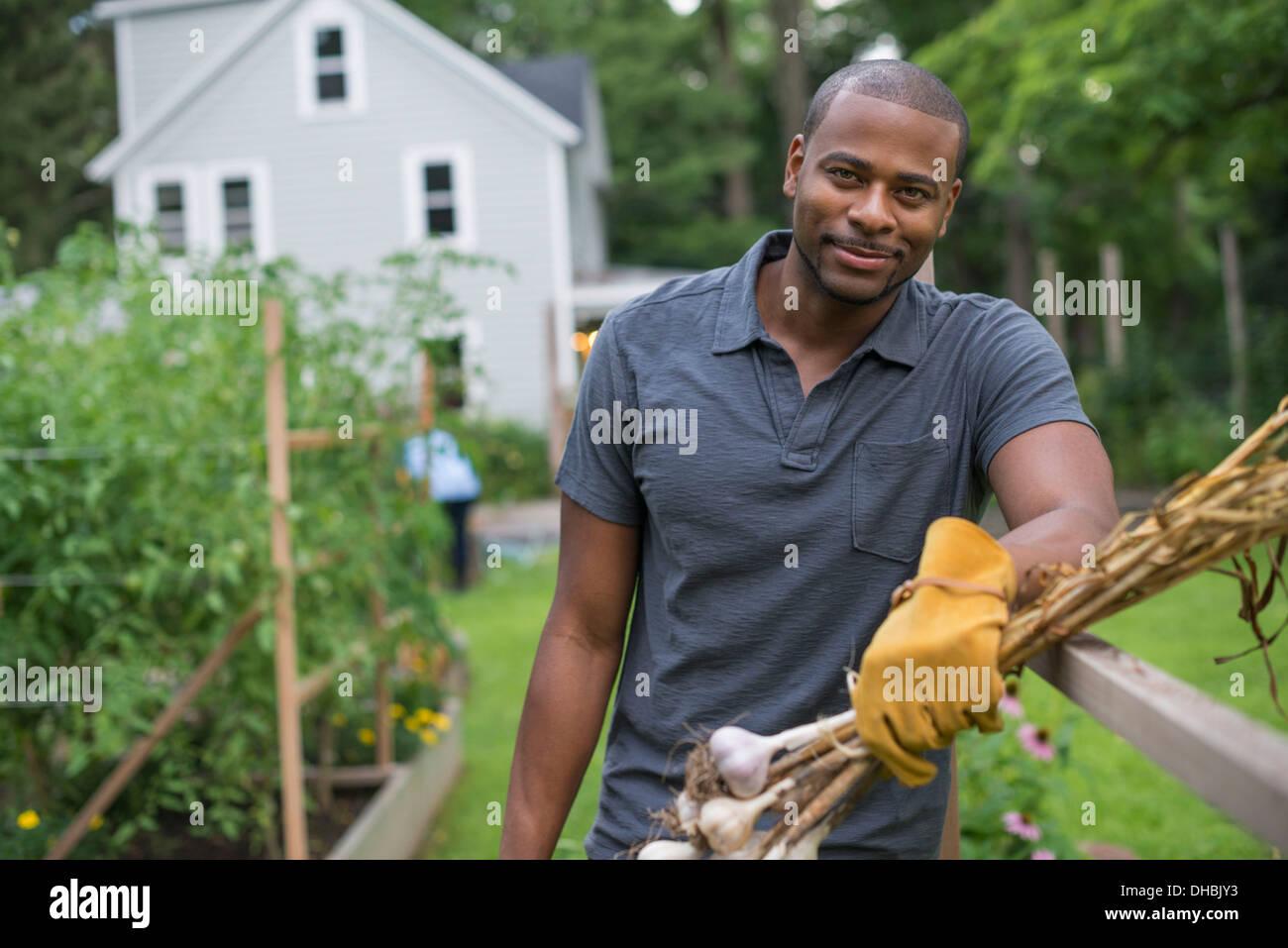 A man in gloves harvesting garlic bulbs in the vegetable garden. - Stock Image