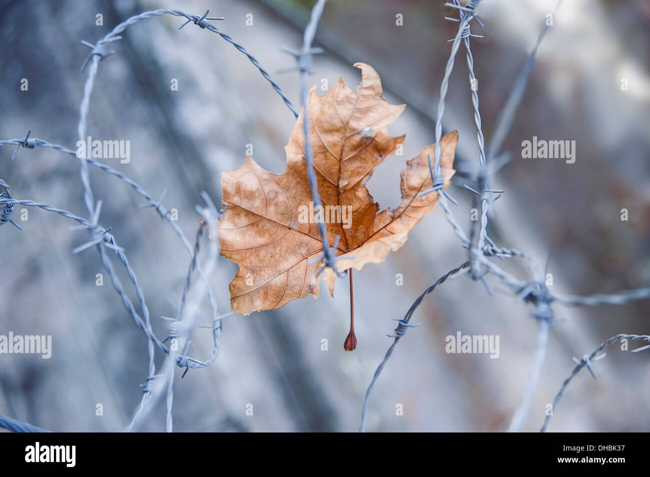 London plane Platanus hispanica Damaged dried leaf caught in barbed wire. Warm brown leaf colour contrasted against cold colour - Stock Image