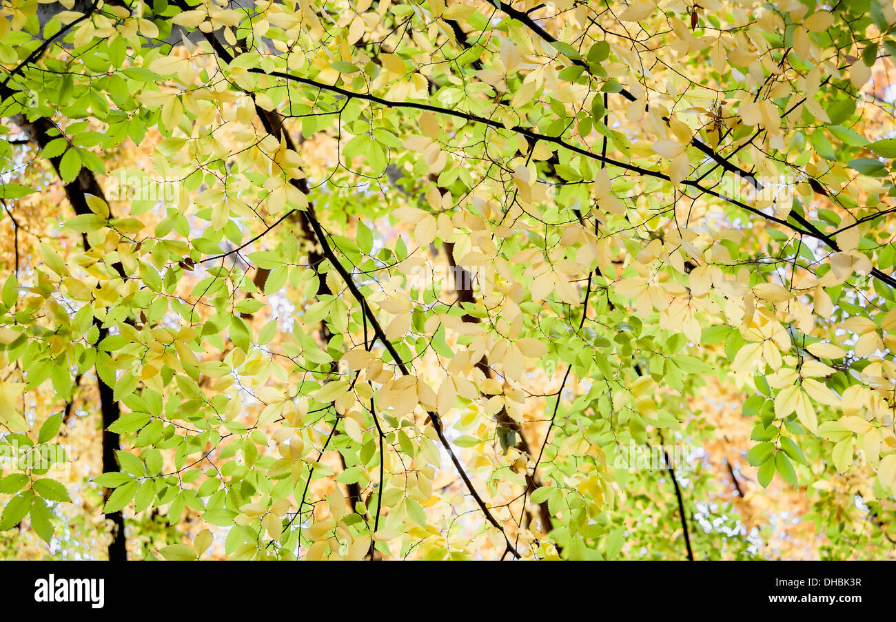 Japanese Lilac tree, Zelkova serrrata, viewed from underneath looking up at the canopy of backlit leaves turning yellow. - Stock Image