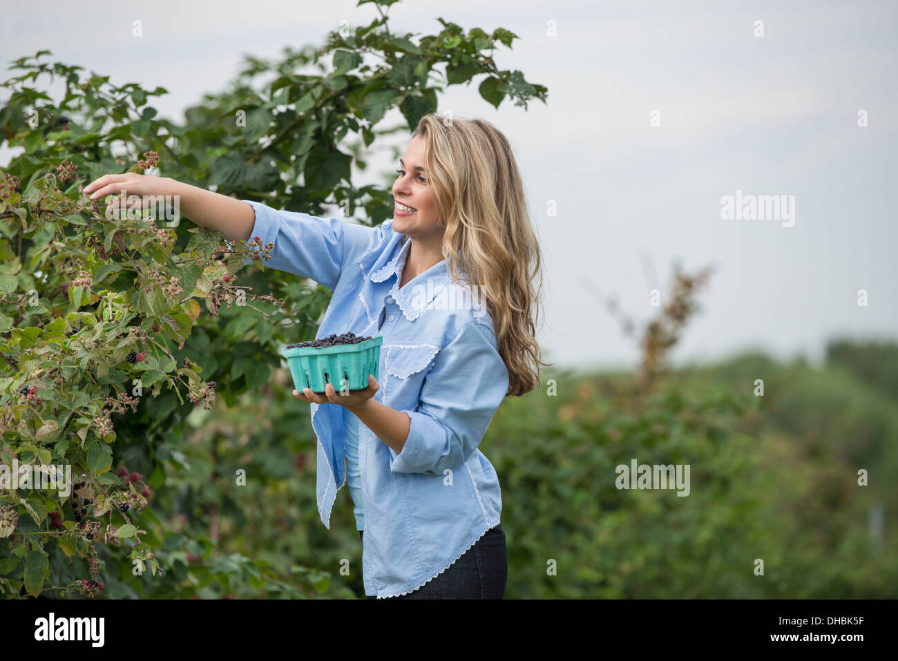 A woman reaching up to pick berries from a blackberry bush on an organic fruit farm. - Stock Image