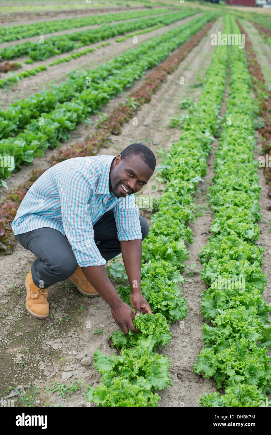 An organic farm growing vegetables. A man in the fields inspecting the lettuce crop. - Stock Image